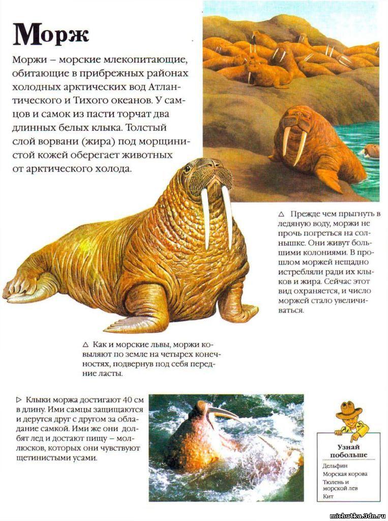 морж детская картинка