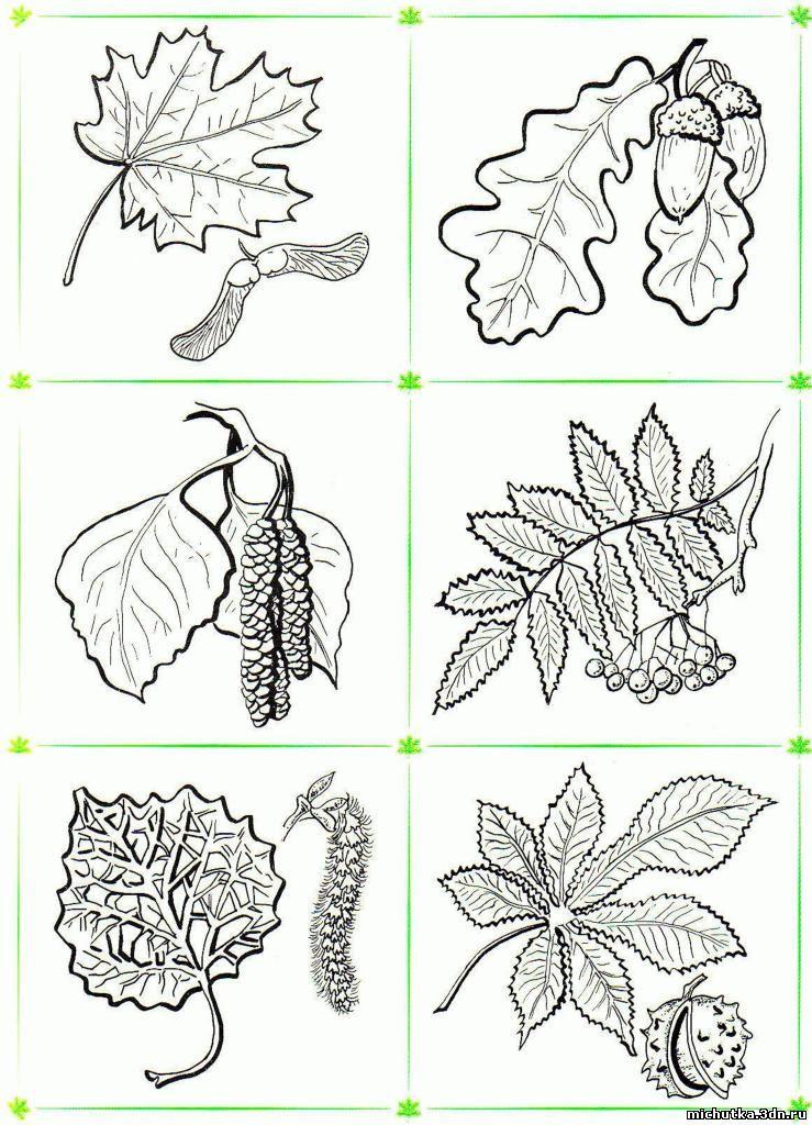 Раскраска листья деревьев - 5