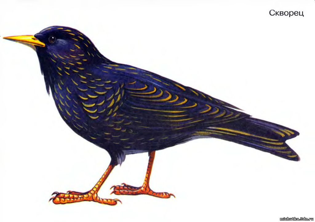 городские птицы